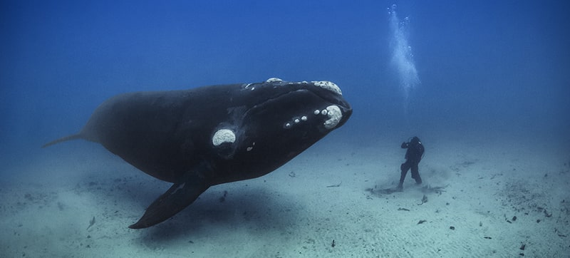 National Geographic underwater photographer Brian Skerry with whale